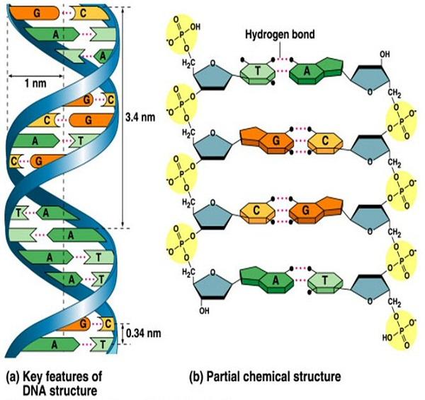 diagram of dna detailed