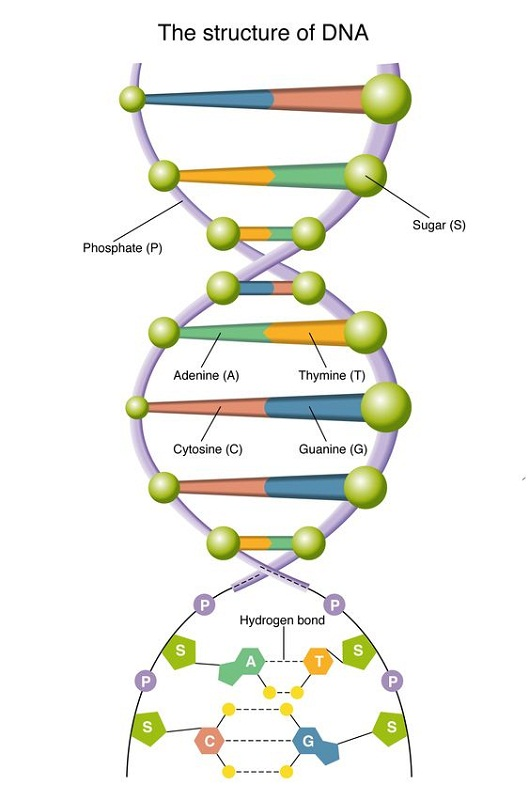 diagram of dna labeled
