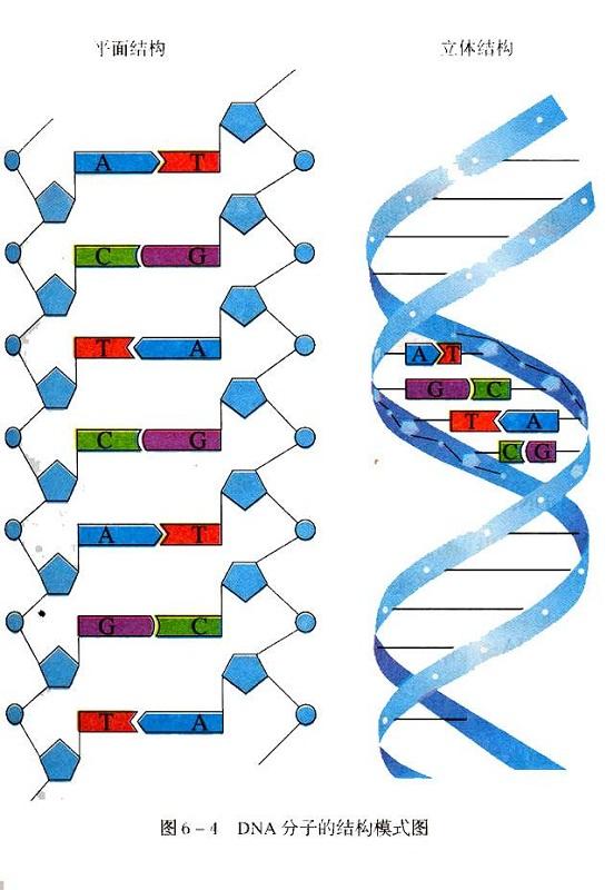 diagram of dna models
