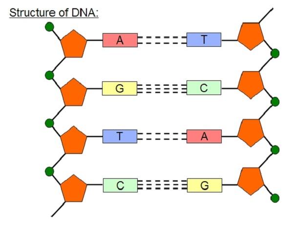 diagram of dna nuclei