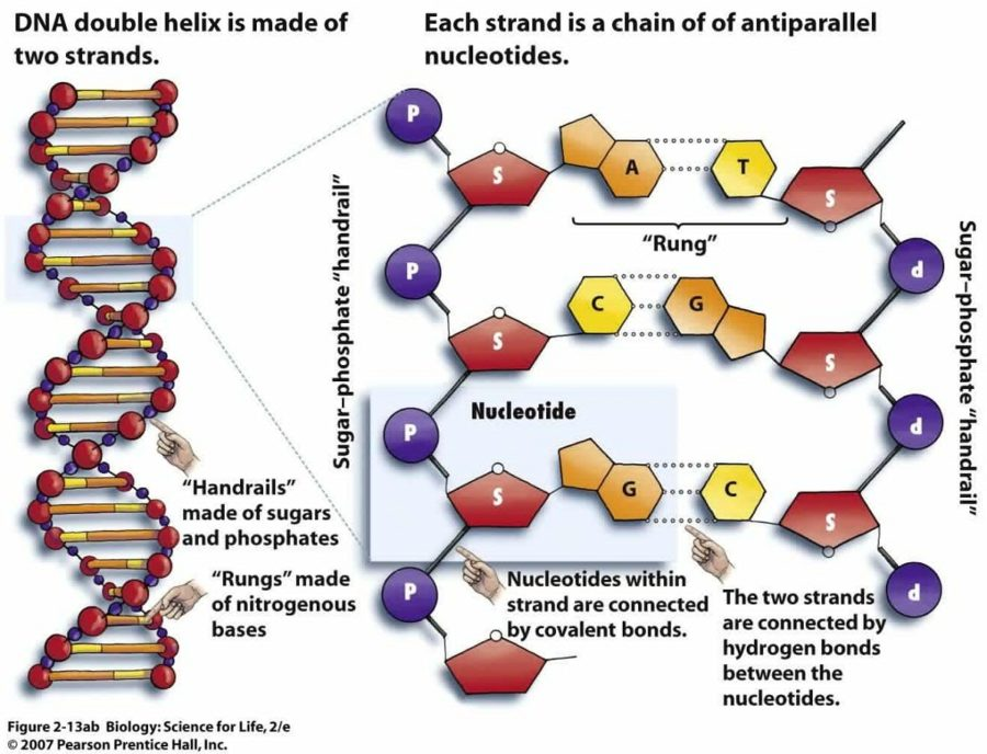 diagram of dna structure