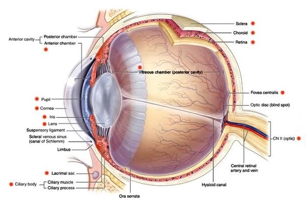 diagram of eye detail