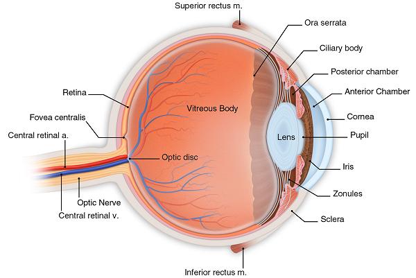 diagram of eye detailed