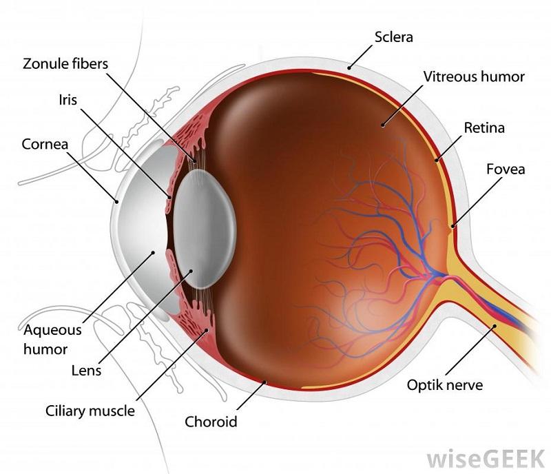 diagram of eye parts