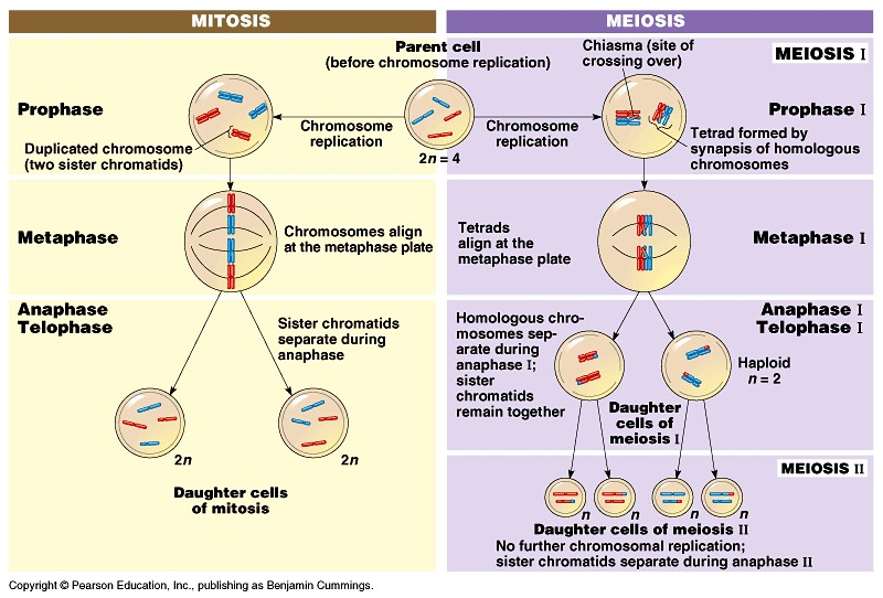 diagram of meiosis compare