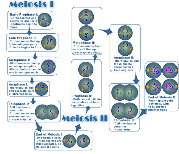 diagram of meiosis worksheet