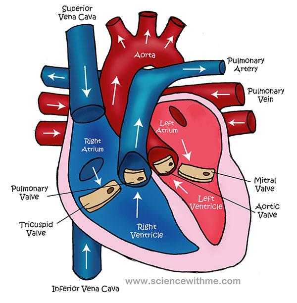 diagram of the heart blood circulation