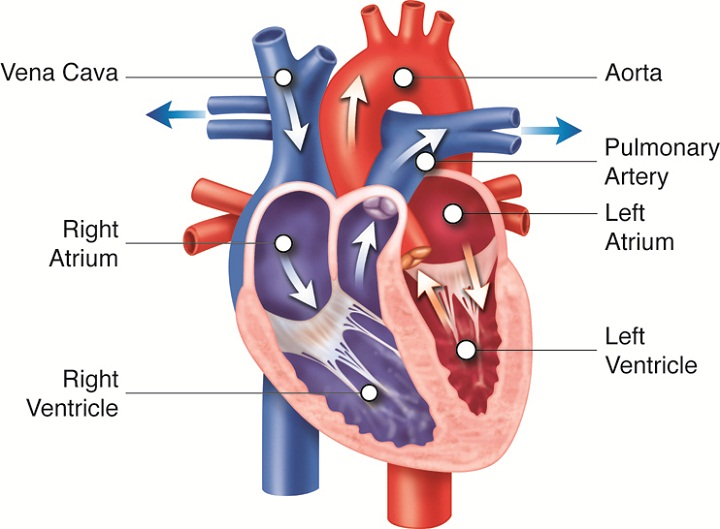diagram of the heart chambers