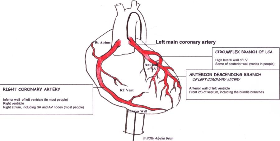 diagram of the heart coronary