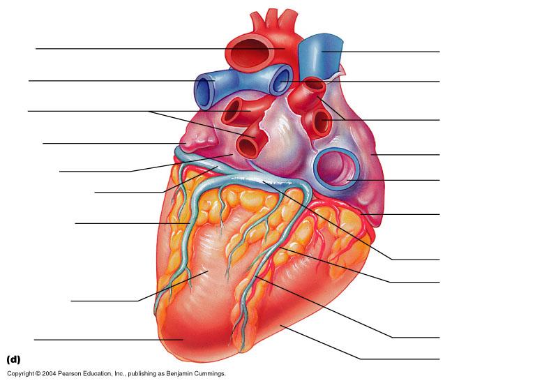 diagram of the heart quiz