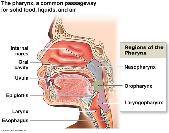 diagram of the mouth parts