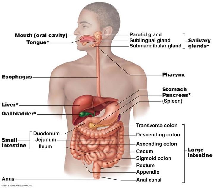 digestive tract diagram anatomy