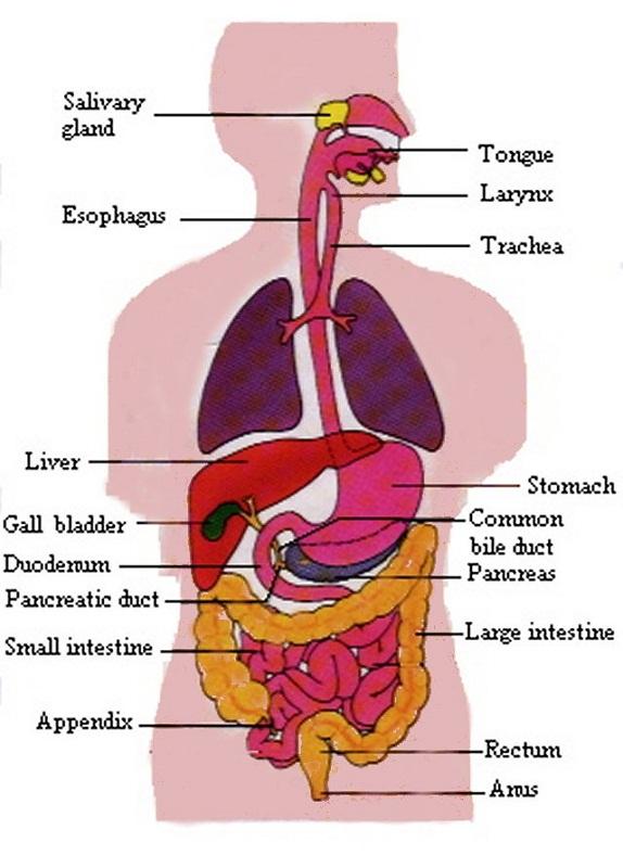 digestive tract diagram human