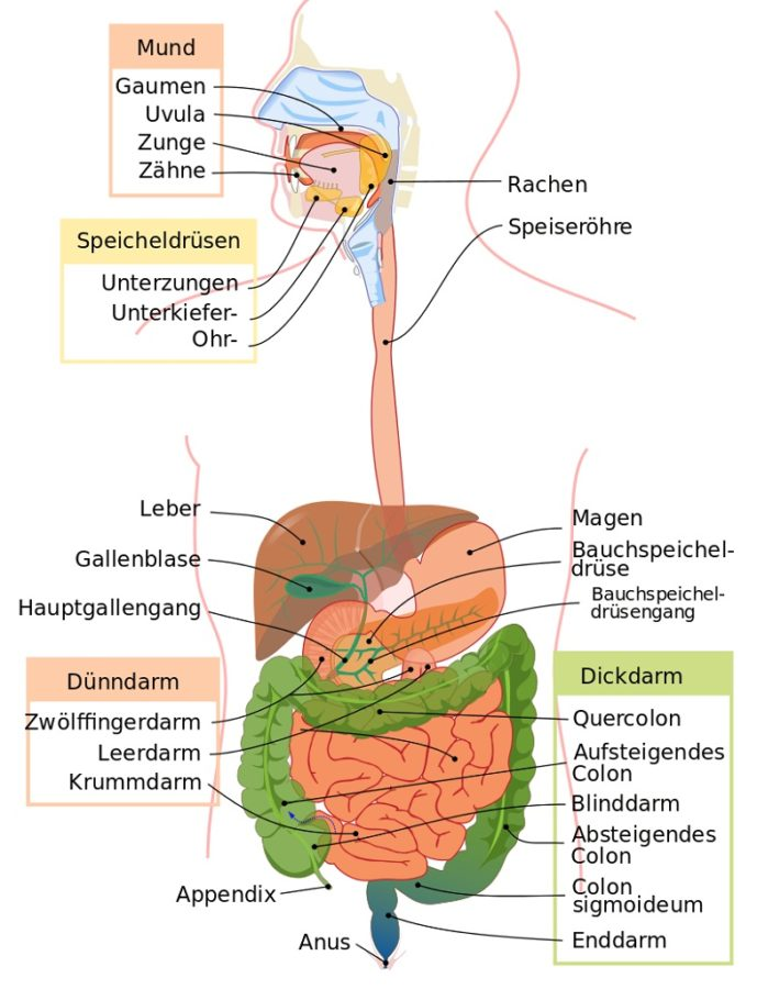 digestive tract diagram system