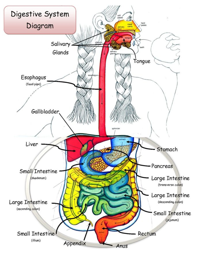 digestive tract diagram with labels