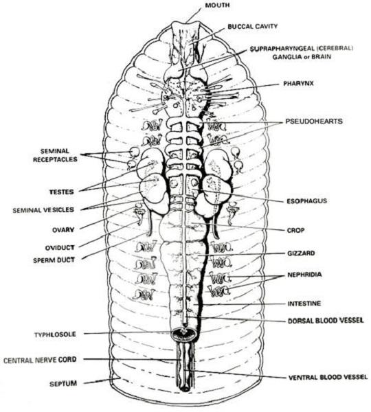 earthworm diagram anatomy