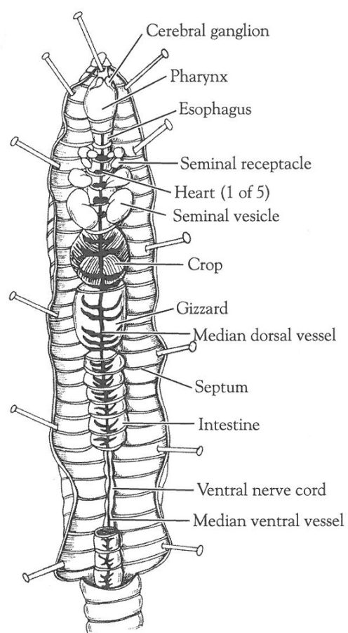 earthworm diagram labeled