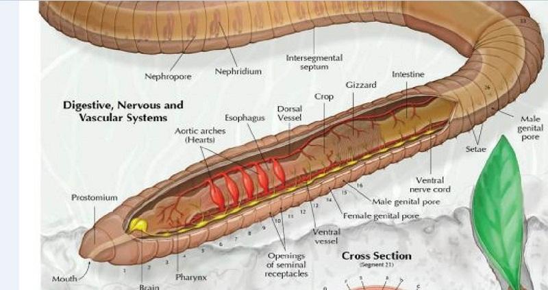 earthworm diagram nerve