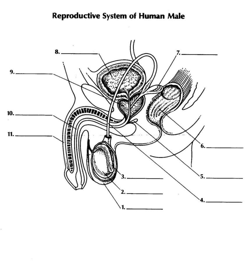 male reproductive system diagram quiz