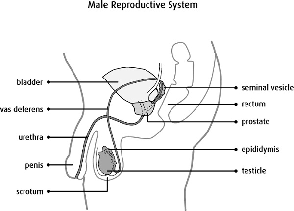 male reproductive system diagram simple