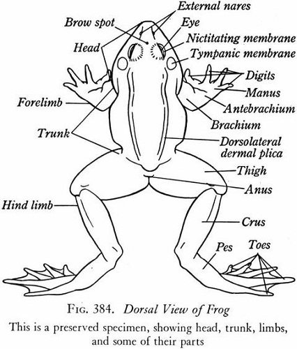 diagram of a frog labeled
