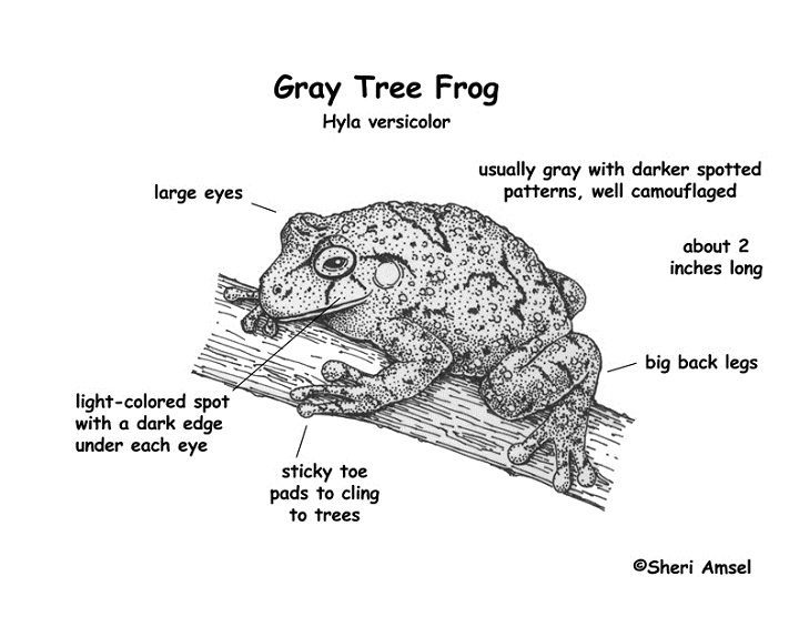diagram of a frog morphology