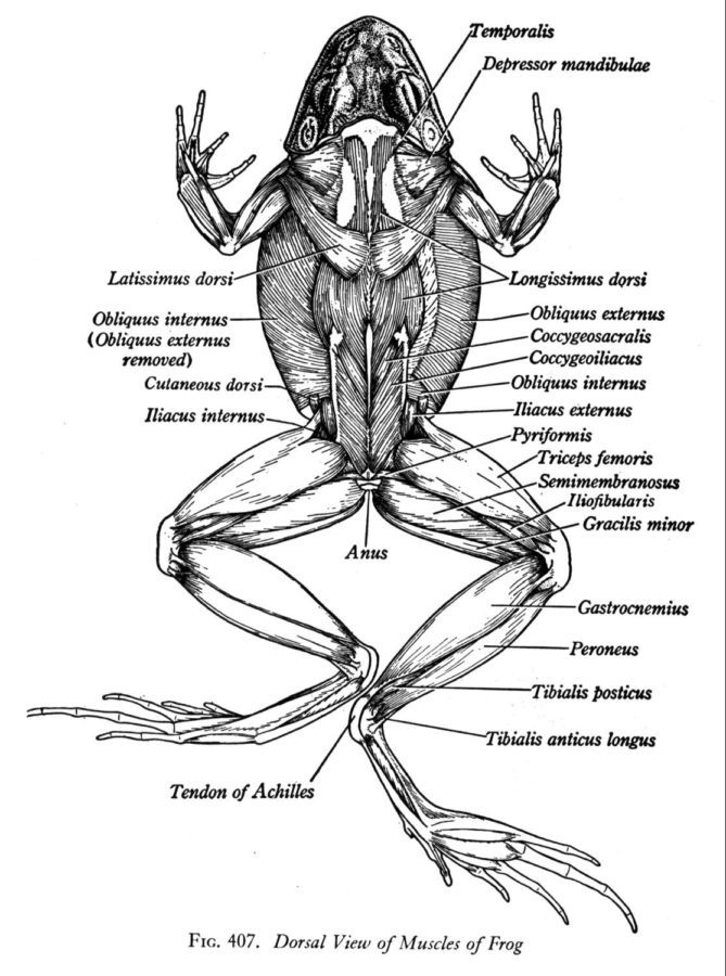 diagram of a frog muscles