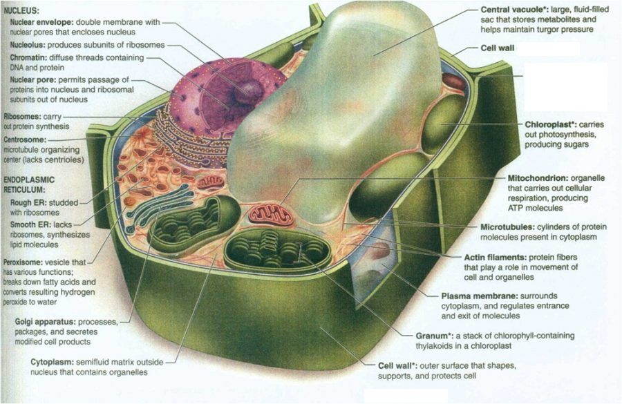 diagram of a plant cell book