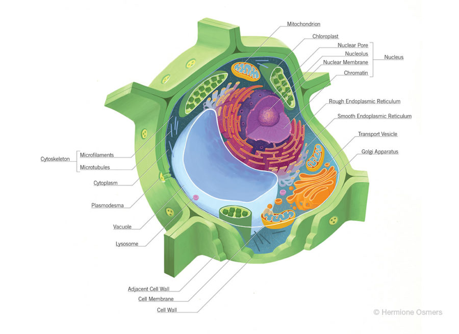 diagram of a plant cell printable