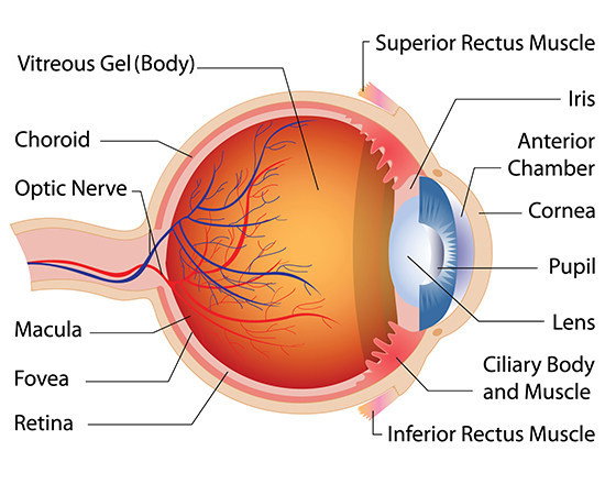 diagram of an eye labeled
