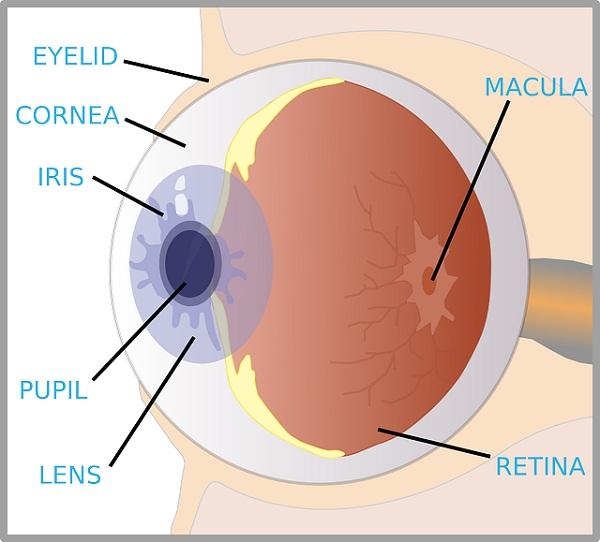 diagram of an eye labels