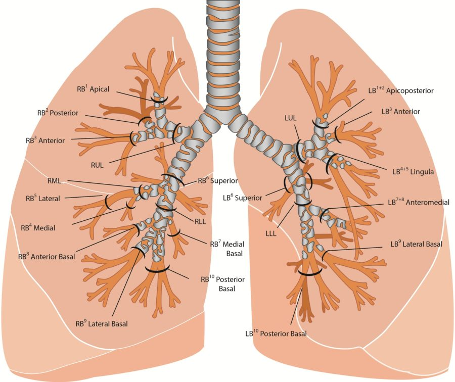 diagram of lungs labeled