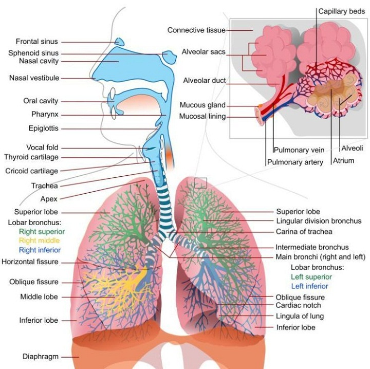 diagram of lungs respiratory