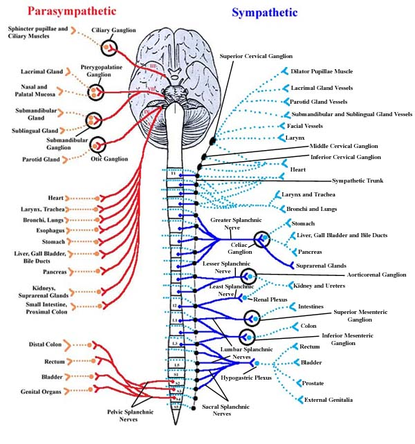 diagram of nervous system body
