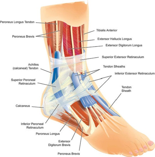 diagram of the foot ankle