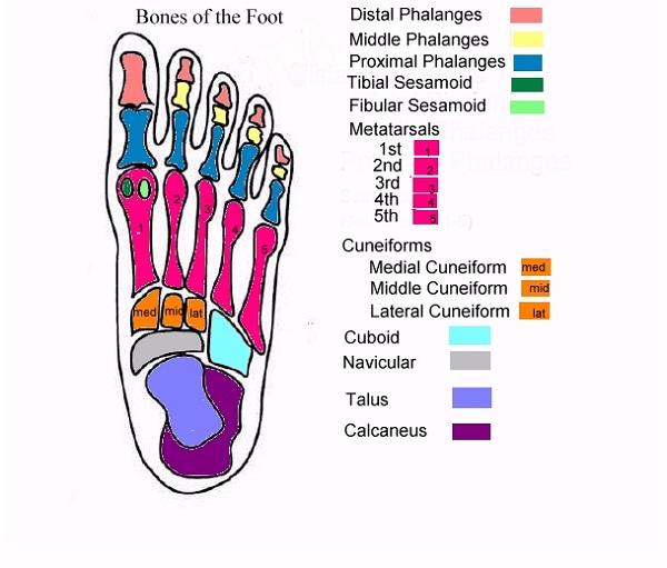 diagram of the foot bones
