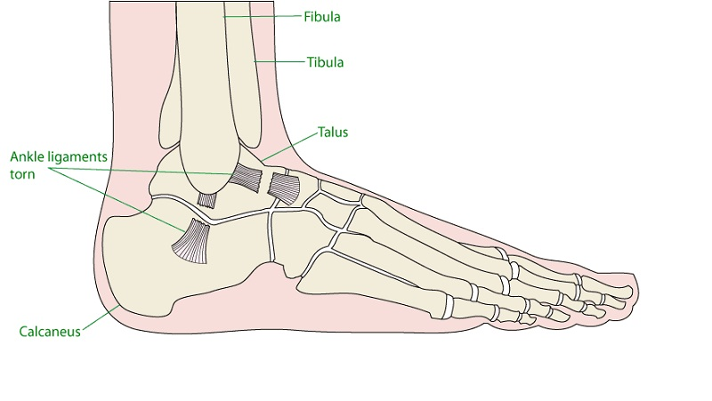 diagram of the foot ligaments