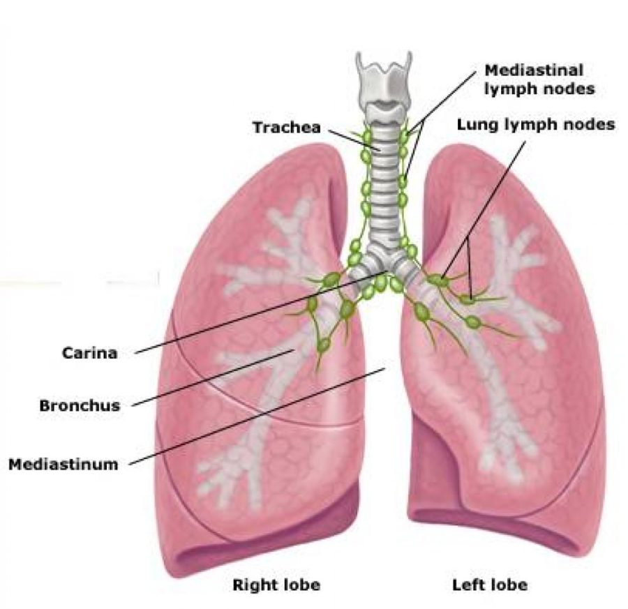 diagram of the lungs lymph