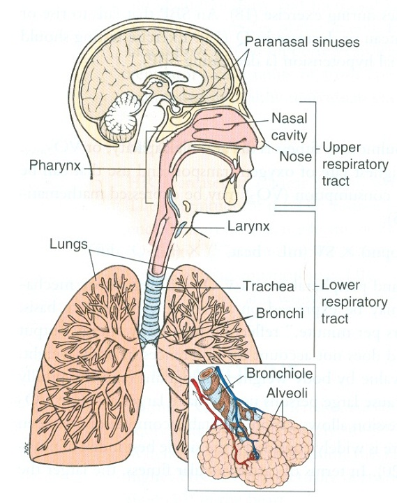 diagram of the lungs respiratory