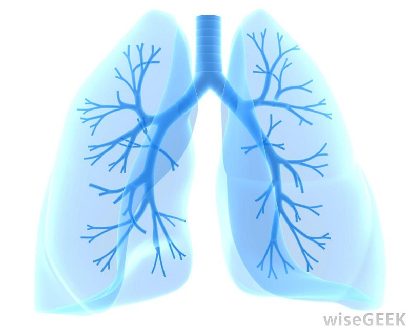 diagram of the lungs unlabeled
