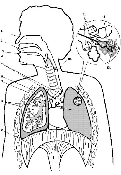 diagram of the lungs worksheet