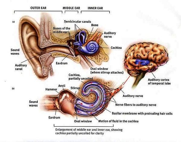 human ear diagram detailed