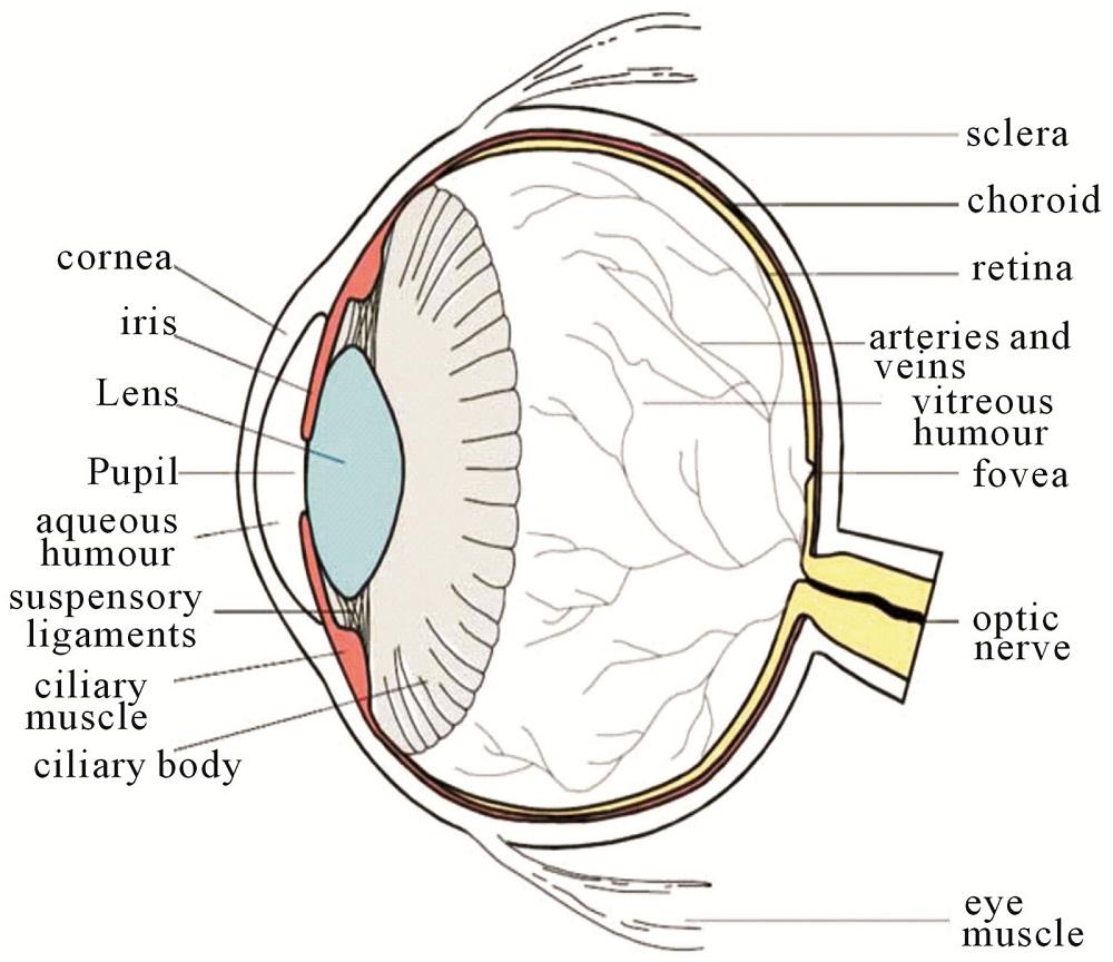 Printable Human Eye Diagrams