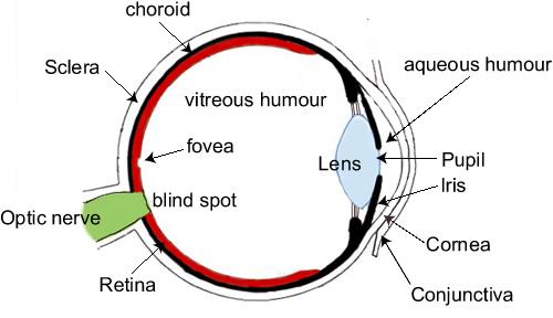 human eye diagram parts