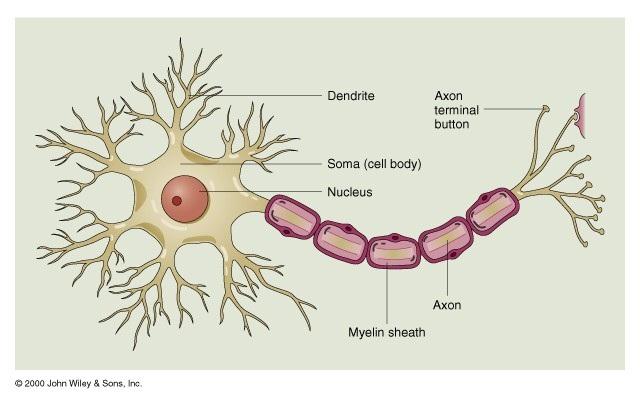 nerve cell diagram detailed