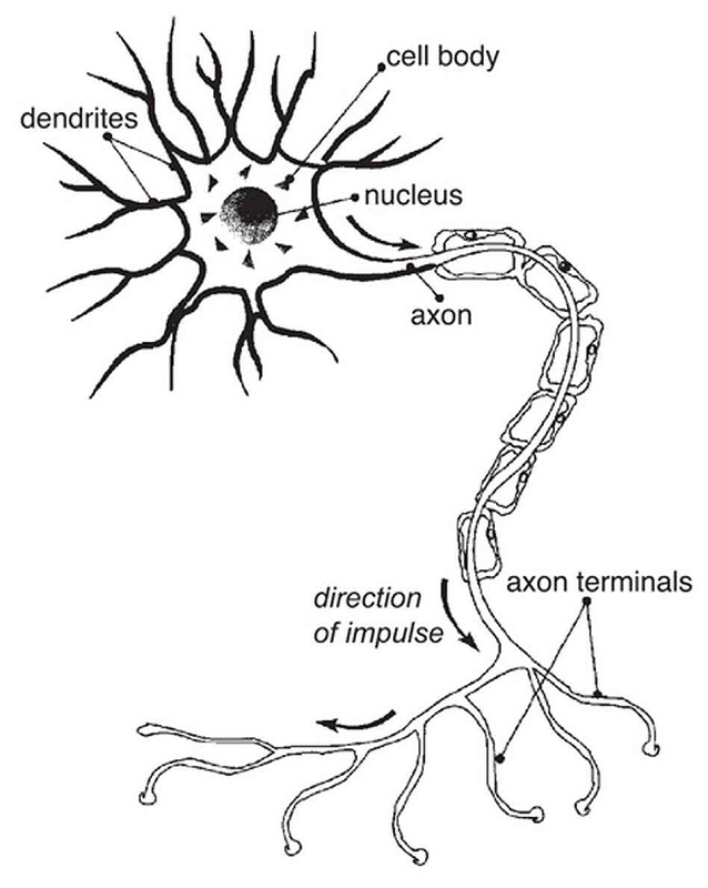 nerve cell diagram human