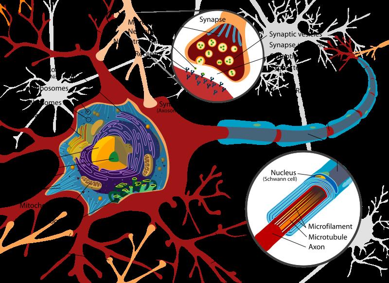 nerve cell diagram neuron