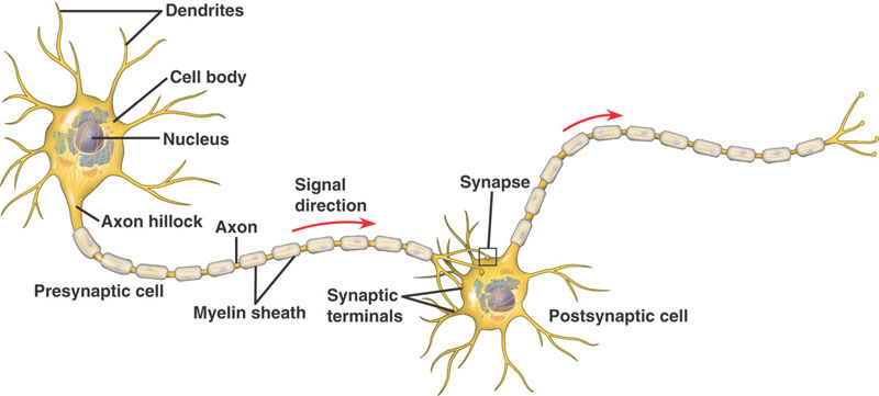 nerve cell diagram structure