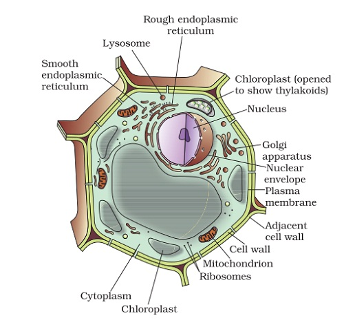 plant cell diagram labeled examples