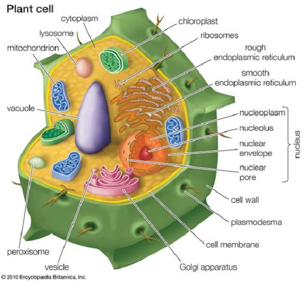 plant cell diagram labeled printable